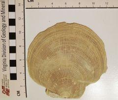 Placopecten clintonius.2