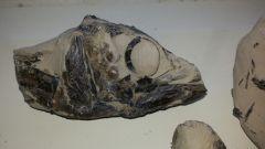 Eocoelopoma curvatum fish skull