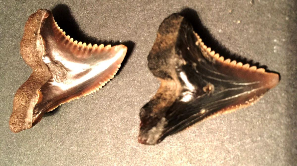 SnaggleTooth Shark (Hemipristis Serra Teeth) Aurora, NC 2016