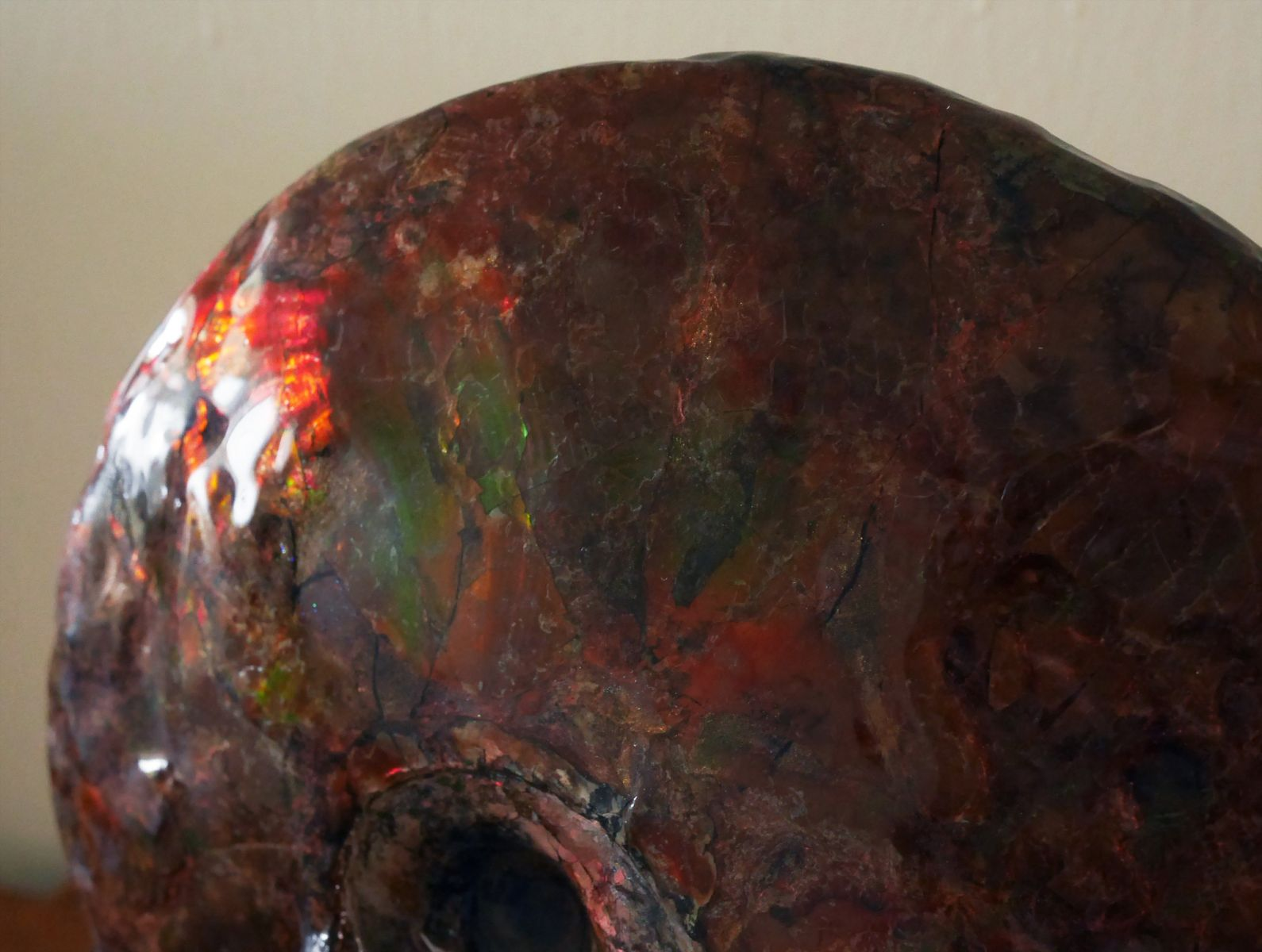 Sphenodiscus 5