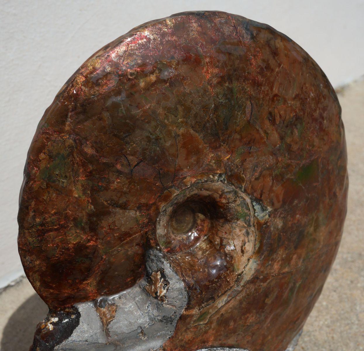 Sphenodiscus 2