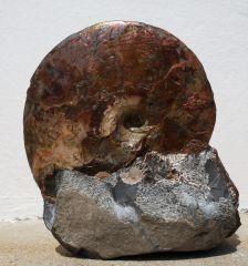 Sphenodiscus 8
