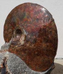 Sphenodiscus 3