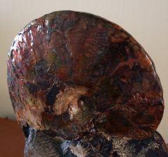 Sphenodiscus 9