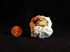 Brachiopod 1, oblique view