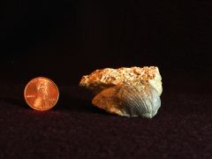 Brachiopod 2, oblique view