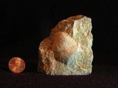 Brachiopod 5