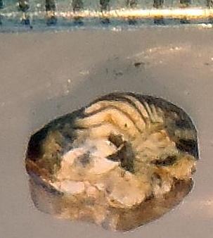 middle Cenomanian Ptychodus rhombodus?