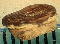 Ptychodus. rhombodus?