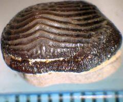 Ptychodus rhombodus tooth 1 occlusal