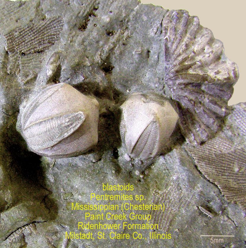 Illinois blastoids