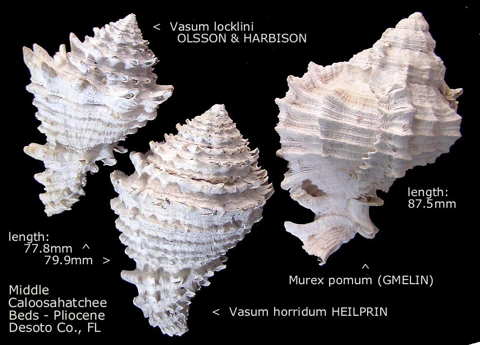 spiny gastropods
