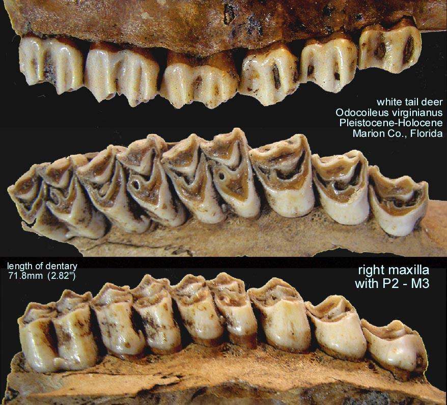Deer upper teeth teeth amp jaws gallery the fossil forum