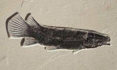 Masillosteus janeae Grande, 2010