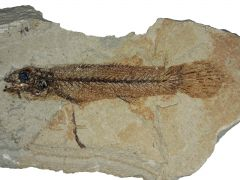 Bassanichthys pesciaraensis Bannikov, 2004