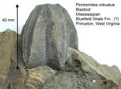 pentremites robustus