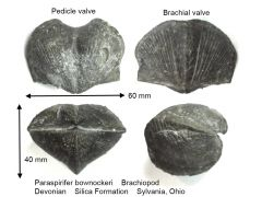 paraspirifer