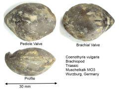 coenothyris