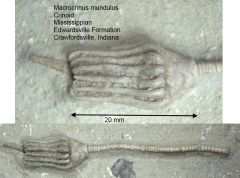 Macrocrinus