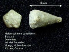 Heteroschisma