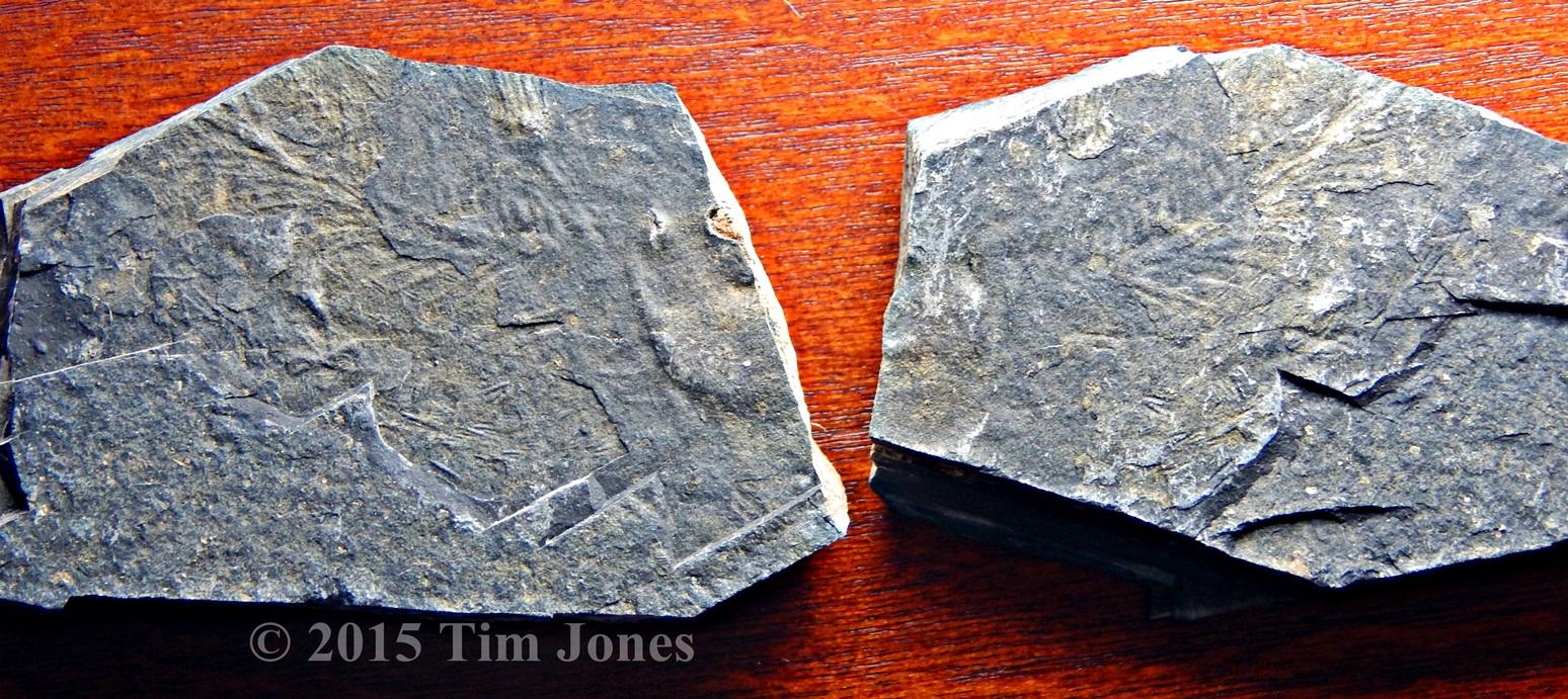 Partial Triassic coelacanth
