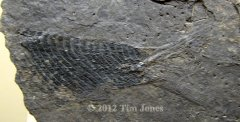 Ptycholepis marshi Newberry tail.