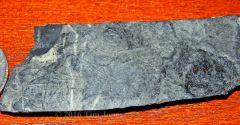 Diplurus skull and dorsal fin.