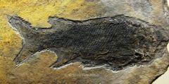 Fossildude's Jurassic Fish Fossils