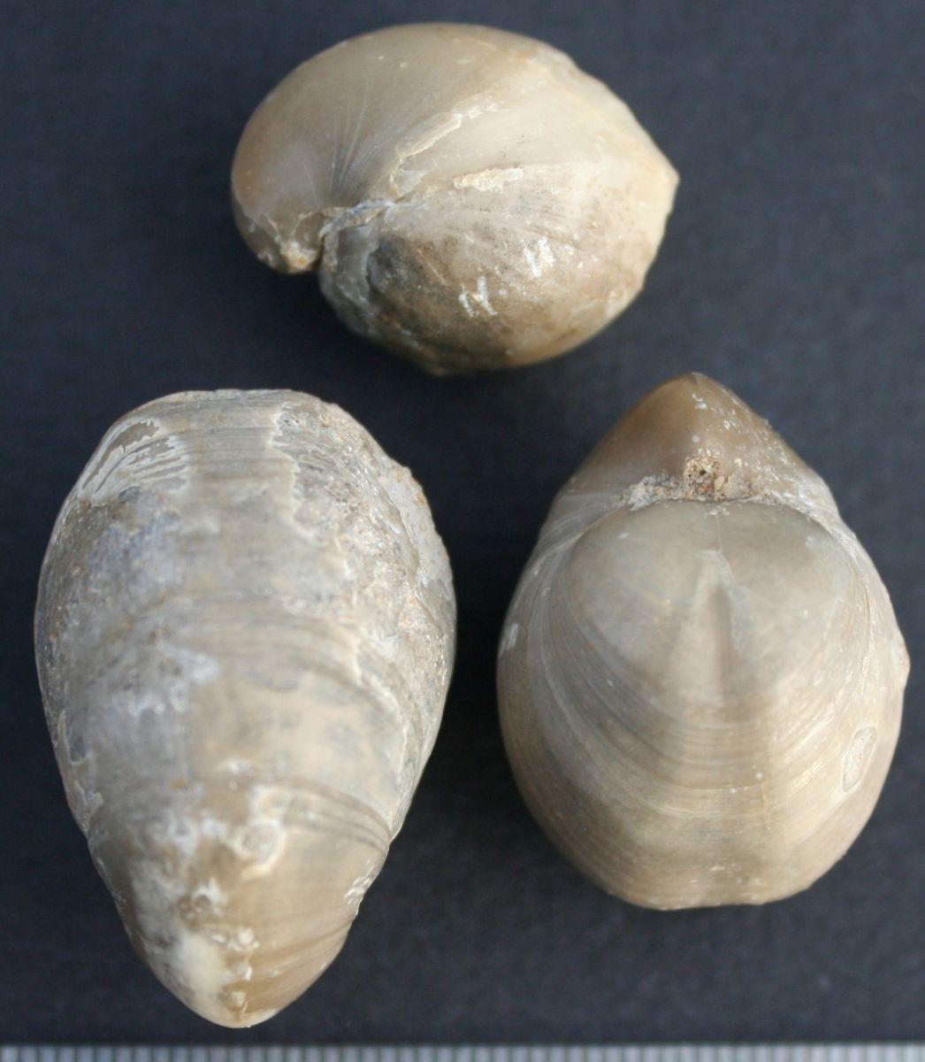Brachiopodes, Shells, corals, sponges......