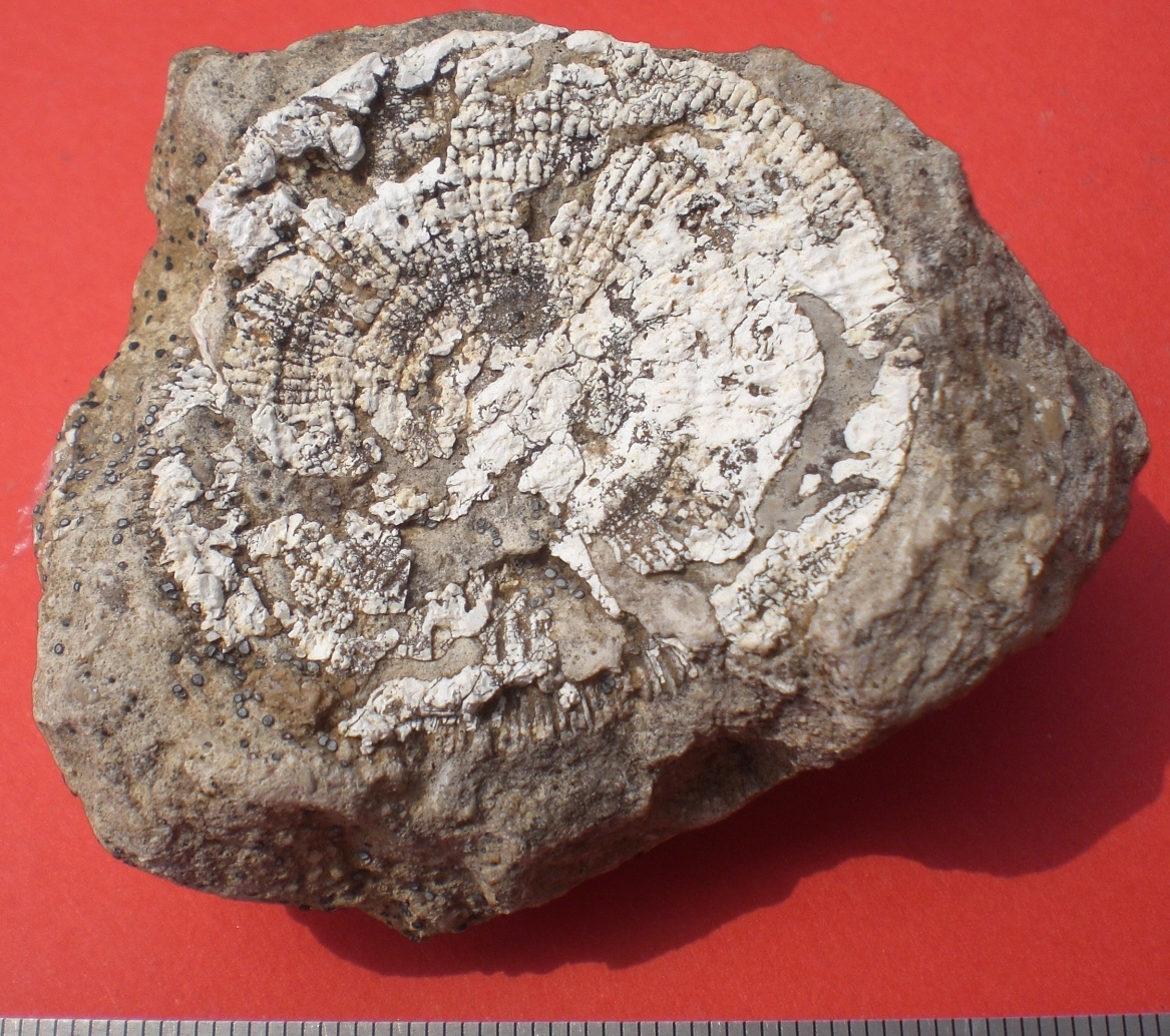 Cyclolites coral cretaceous Bóveda Álava Spain.