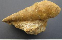 Pseudomelania lineata (Deslongchamps). Zone à humphriesianum Bajocien inférieur Calvados
