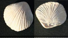 Terebratella santonensis Upper Campanian Talmont sur Gironde France