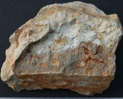 Salteraster biradialis Late Silurian. Humevale sandstone.Victoria.Australia