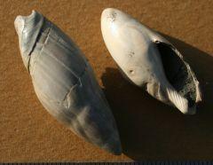Ancilla (Baryspira) obsoleta Miocene Miste Netherlands.