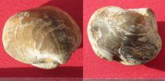 Liospiriferina rostrata (Schlotheim 1820)Plienbaschian Burgos Spain