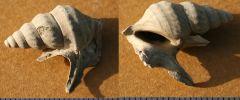 Aporrhais dingdenensis Miocene Miste Netherlands.
