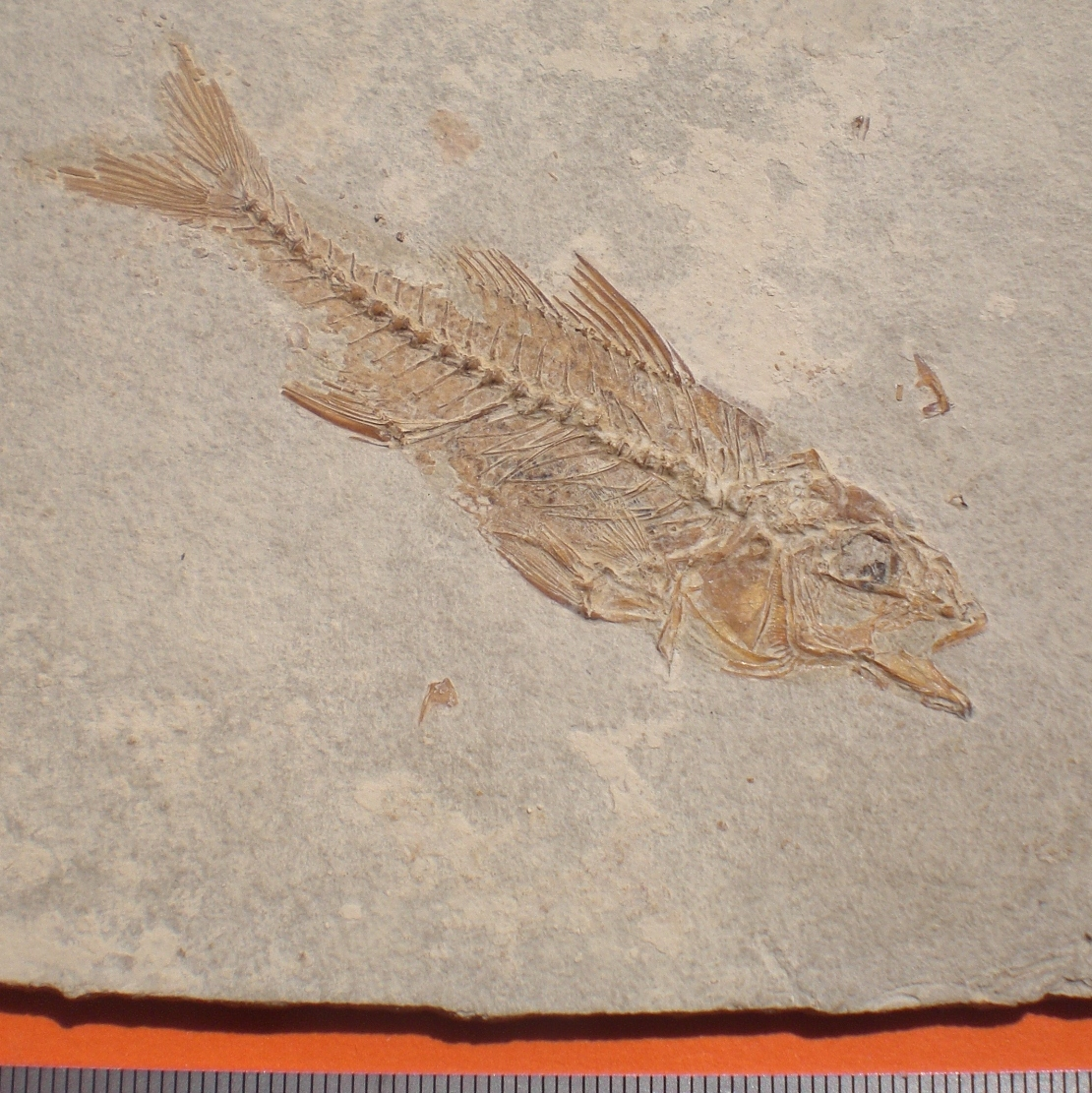 Dapalis Macrurus Oligocene Aix en Provence France