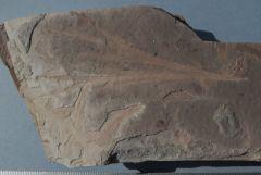 Dicroidium elongatum Middle Triassic, Blackstone Formation.Clay Pave quarry, Ebbw Vale, Queensland.Australia