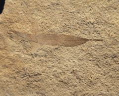 Salix sp. Oligocene, Rupelian (Stampien), ± 33,1 m.y Sainte Maime, Alpes de Haute Provence, France