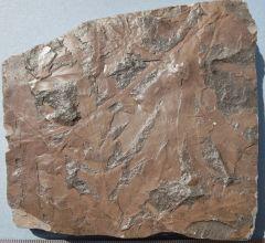 Ginkgo digitata, Dicroidium odontopteroides and Neocalamites Middle Triassic, Blackstone Formation.Clay Pave quarry, Ebbw Vale, Queensland.Australia