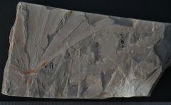 Ginkgoites ginkoides(A),Dicroidium superbum(B)Late Triassic Blackstone Form,Denmark Hill,Queensland Australia