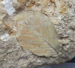 Leaf to ID Miocene La Mure France