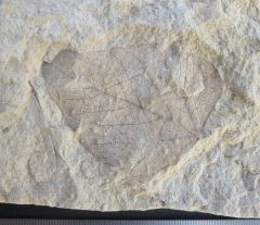 Poplar leaf Eocene Czech Republic