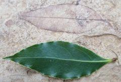 Laurus persea Oligocene, Rupelian (Stampien), ± 33,1 m.y Sainte Maime, Alpes de Haute Provence, France