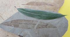 Salix sp. Oligocene, Rupelian (Stampien), ± 33,1 m.y Sainte Maime, Alpes de Haute Provence, France at the top, eocene of green river USA under