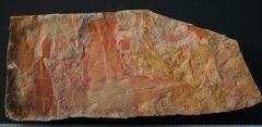 Glossopteris browniana Brongniart, 1892.Late Permian.Illawarra Coal Measures.Dunedoo Formation..New South Wales.Australia.