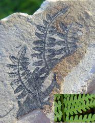 Osmunda cinnamomea Miocene Coiron Ardèche