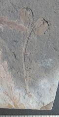 Pteruchus dubia. Triassic. Blackstone Formation.Dinmore Queensland