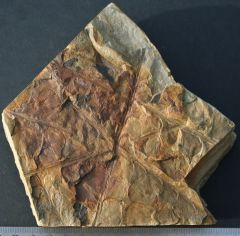 Nothorhacopteris aergentinica. Late Carboniferous. McInnes Formation.Wards River. New South Wales Australia