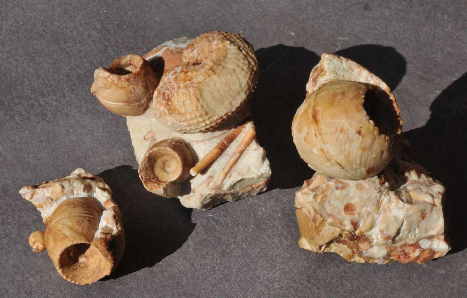 Triassic/Tuvalian ammonoids, Tropites subullatus